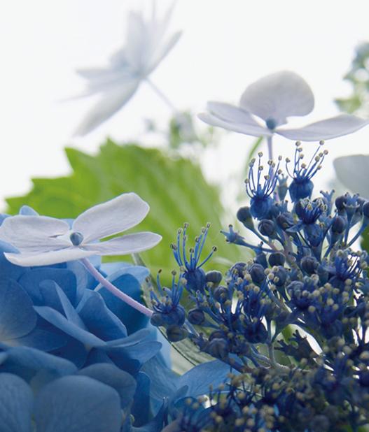 紫陽花の咲く頃に